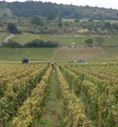 Hand picking and machine harvesting - Meursault
