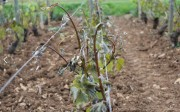 late frosts in the côte de beaune