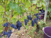 Morey Village grapes