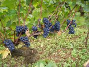 Morey Clos Solon grapes