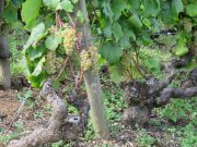 White grapes in Morey Monts Luisants