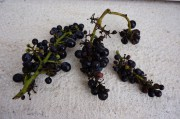 Scruffy but easy to triage - here's the result of hail. Beaune Les Cras