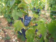 Pinot Corton Bressandes