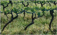 beaune - high trained vines chateau de chorey