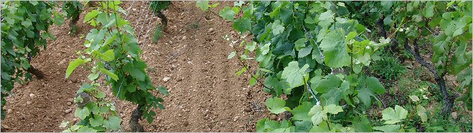rateau's more vigorous vines