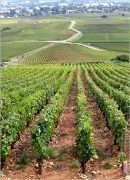 do you want to own vines in the côte d'or?