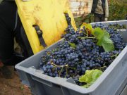 01-Day 5 Gevrey La Justice grapes in case on back of porters carrying frame
