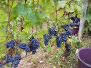 Morey Village grapes