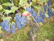 Day 3 Morey Village grapes site below RN74. So dark the flash went.
