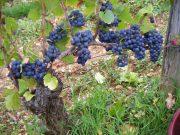 Day 6 - Bonnes Mares typical fruit