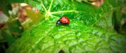 wine faults seminar (ladybirds, ladybugs…?)