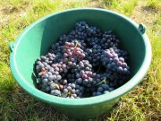 Arlaud Morey 1er Blanchards grapes