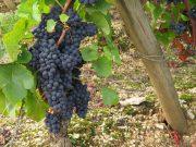 Grapes in Morey Luisants