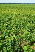 Quite a lot of degeneration (yellowing) of the lower vines in Romanée-Conti...
