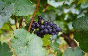 Pinot Noir - almost full veraison...