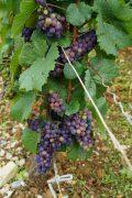 Pinot Noir - less advanced
