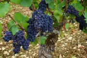 Pinot Noir - more advanced