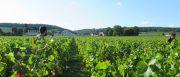 mark: domaine arlaud's harvest diary, tuesday…