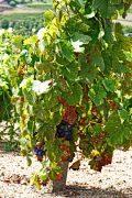 a beaujolais harvest update