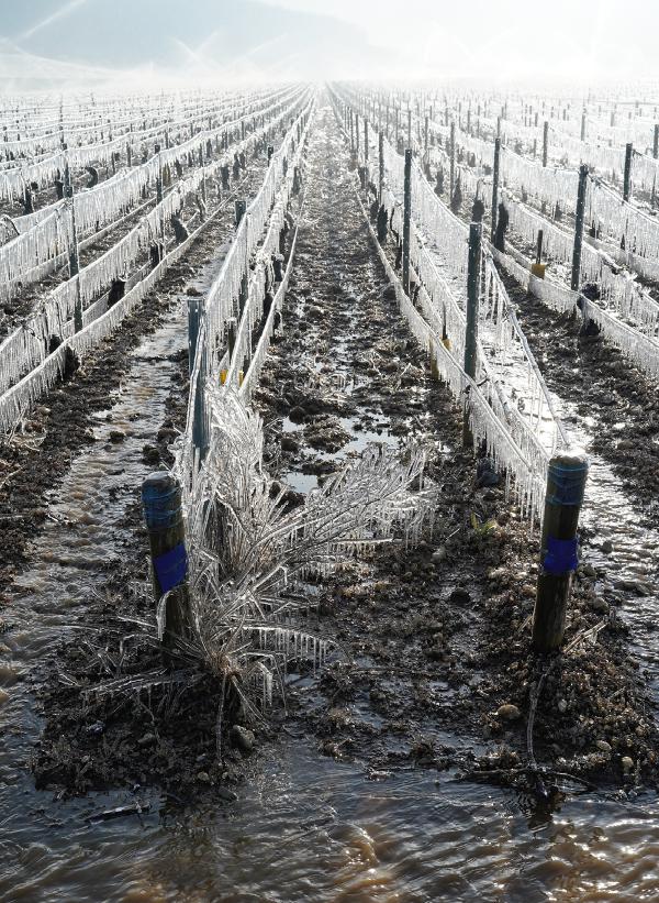 Chablis frost - April 2021